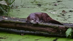 European River Otter resting on log over pond covered in duckweed Stock Footage
