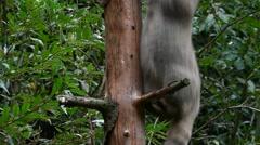 European wildcat (Felis silvestris silvestris) climbing in tree in forest Stock Footage