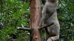 European wild cat (Felis silvestris silvestris) climbing in tree in forest Stock Footage