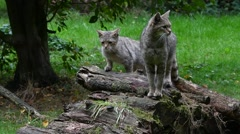 European wild cat female with three young on woodpile Stock Footage