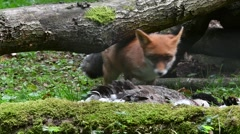 Red fox (Vulpes vulpes) scavenging on large bird / goose in forest Stock Footage