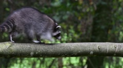 North American raccoon walking over thick branch in forest Stock Footage