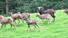 European mouflon ram with herd of females walking through meadow Stock Footage
