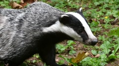 European badger (Meles meles) foraging in meadow Stock Footage