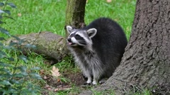 North American raccoons  (Procyon lotor) foraging in forest Stock Footage