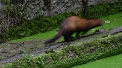 European polecat (Mustela putorius) running back and forth along old canal Stock Footage