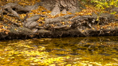 Pond Old Park Yellow Leaves of the Tree Roots Reflection Transparent Water Stock Footage
