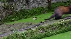 Polecat running with bird chick in mouth along old canal wall Stock Footage