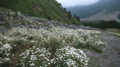Flowers at the foot of the mountain Stock Footage