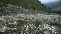 Chamomile at the foot of the mountain Stock Footage