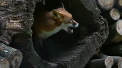 Red fox (Vulpes vulpes) emerging in hollow tree trunk in woodpile in forest Stock Footage