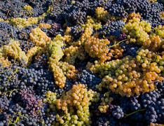 Harvested grapes, Langhe Nebbiolo, Piedmont, Italy Stock Photos