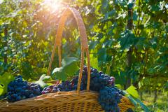 Basket of grapes, Langhe Nebbiolo, Piedmont, Italy Stock Photos