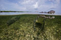 American crocodile (crodoylus acutus) in the shallows of Chinchorro Atoll, Stock Photos