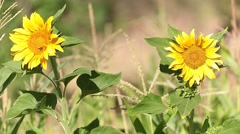Two sunflower in summer Stock Footage