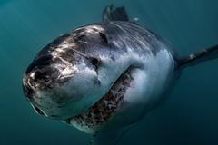 Great White Shark (Carcharodon Carcharias) swimming directly at camera, Stock Photos