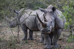 Endangered White Rhino and calf, Hluhluwe-Imfolozi Park, South Africa Stock Photos