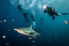 Scuba divers' encounter with large Oceanic Blacktip Shark (Carcharhinus Stock Photos