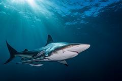 Oceanic Blacktip Shark (Carcharhinus Limbatus) swimming near surface of ocean, Stock Photos
