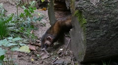 Polecat (Mustela putorius) collecting leaves for nest in hollow tree Stock Footage
