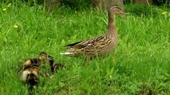 Mallard with ducklings (Anas platyrhynchos) Stock Footage
