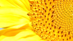Macro of the a sunflower. Stock Footage