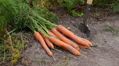 Close-up of shovel and harvested carrots from the garden Stock Footage
