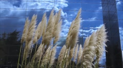 Pampas grass - Cloudy sky background on mirror building - Slow motion Stock Footage