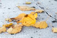 Fallen birch leaves Stock Photos