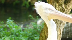 Spot-billed pelican (Pelecanus philippensis) Stock Footage