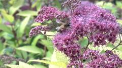 Bee on the purple flower Stock Footage