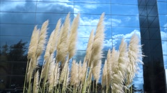 Pampas Grass with cloudy sky background on mirror building Stock Footage