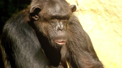 Common chimpanzee (Pan troglodytes) Stock Footage