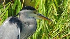 Grey heron (Ardea cinerea) Stock Footage