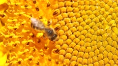 Macro of a sunflower with a bee. Stock Footage