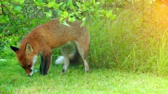 Red fox (Vulpes vulpes), largest of true foxes Stock Footage