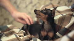 Woman petting small pretty dog Stock Footage