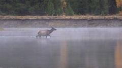 Cow Elk Crossing River Stock Footage