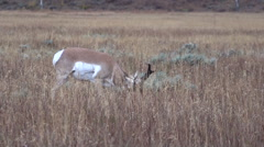 Pronghorn Antelope Buck in Rut on the Prairie Stock Footage