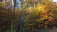 4k Golden autumn season with yellow red leafes trees tilt in forest Stock Footage