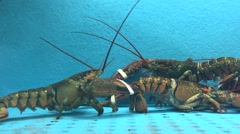 Lobster Fight in a tank Stock Footage