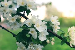 Flower apple tree sunset macro Stock Photos