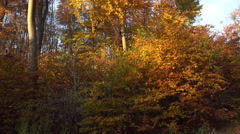 4k Golden autumn season with yellow red leafes trees panning in forest Stock Footage