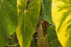 Rain Covered Anthurium Leaves in Shades of Yellow and Green Stock Photos