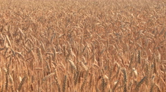 Grain crops moving in the wind Stock Footage