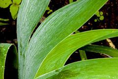 Close up of Rain Covered Bearded Iris Leaves Stock Photos