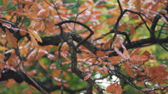 Autumn oak tree with wet orange leaves, fall season Stock Footage