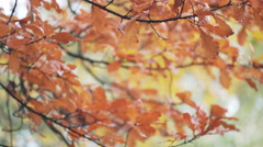 Autumn oak tree with wet orange leaves, fall season Stock Footage