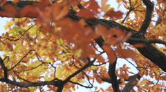 Autumn oak tree with orange leaves, fall season Stock Footage