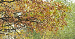 Autumn oak tree with orange leaves, fall season Arkistovideo